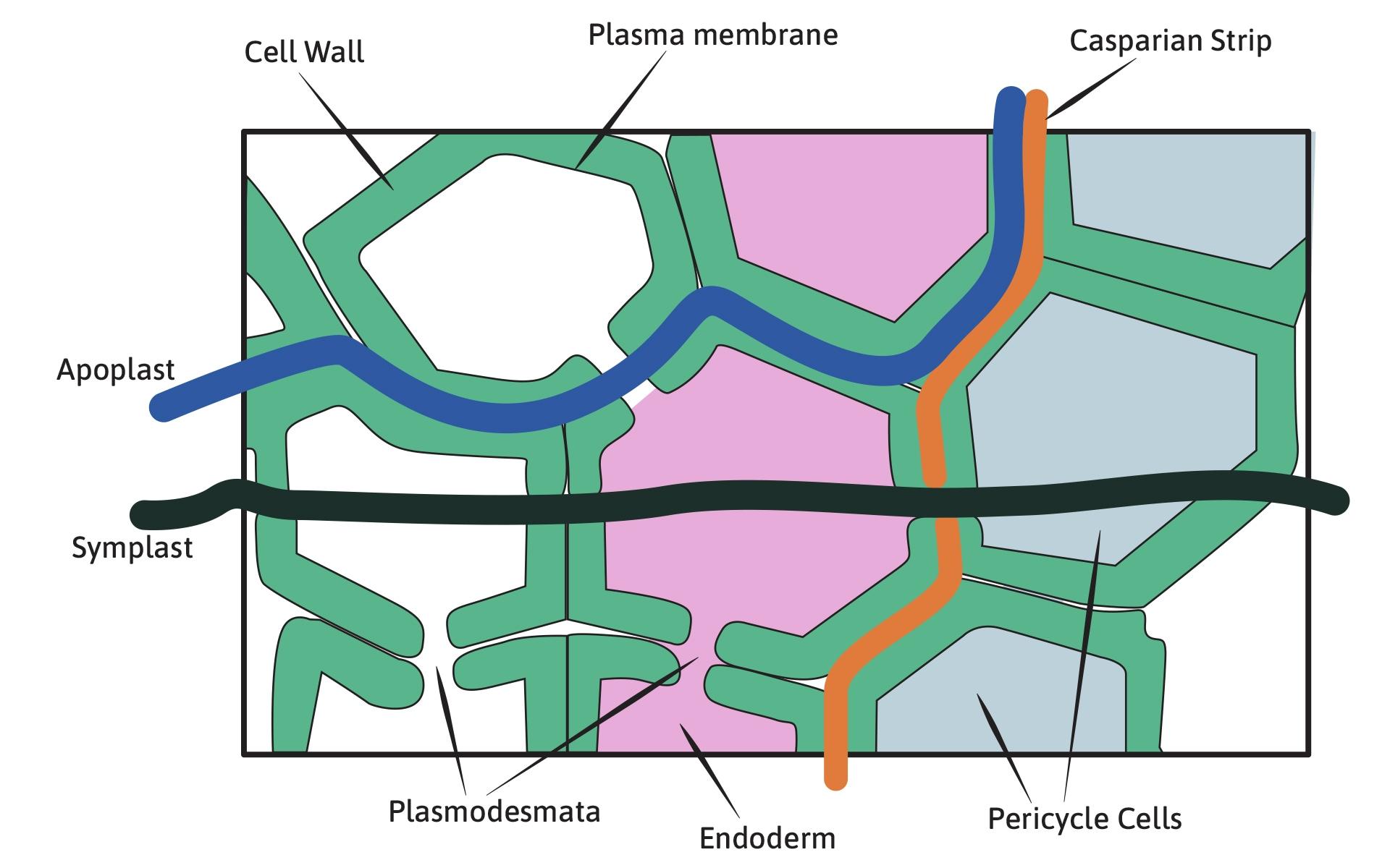 Calcium mobility diagram