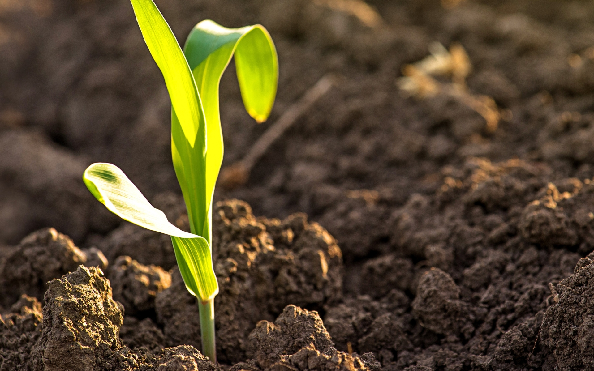A young corn stalk seedling emerging from rich brown soil